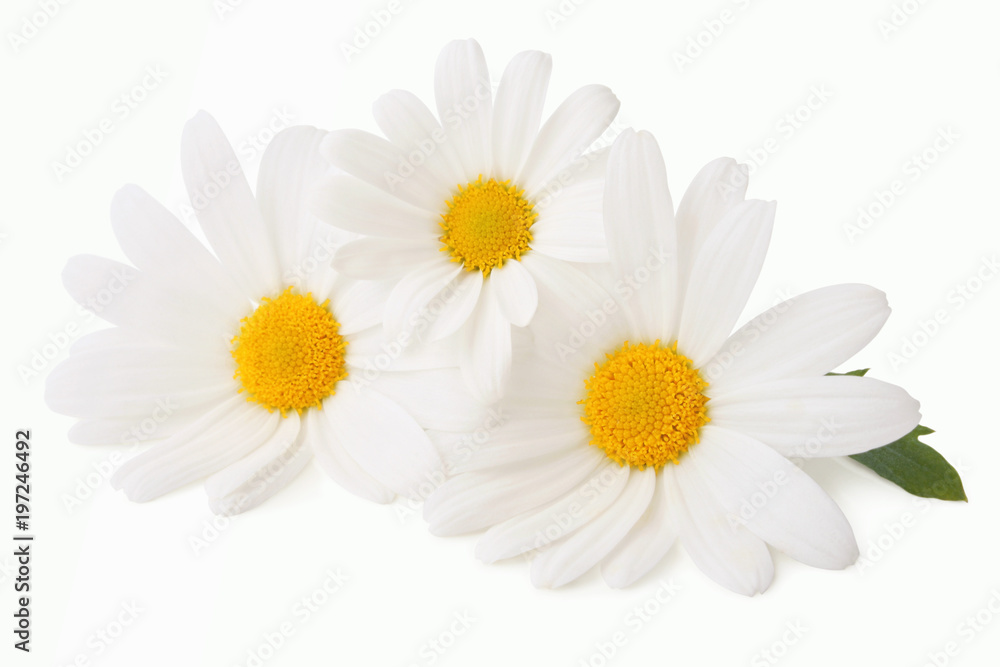 Fototapeta Lovely Daisies (Marguerite) isolated, including clipping path without shade.