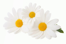 Lovely Daisies (Marguerite) Is...