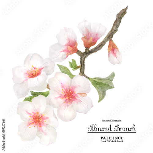 Photo  Watercolor flowering almond branch