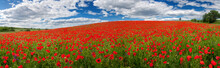 Summer Floral Background Of Nature - Flowers Of Red Poppies. Summer Landscape With Red Poppies . A Big Plan Is Summer Flowers.