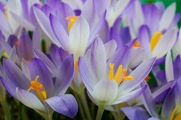 Obraz Photo close small spring flowers crocuses