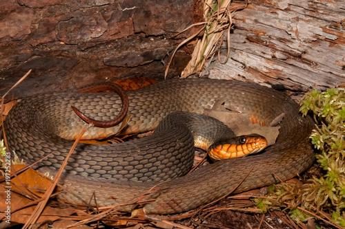 Fotografie, Obraz  Red-bellied Water Snake