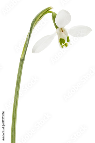 Spoed Foto op Canvas Iris Flower of snowdrop isolated on white background