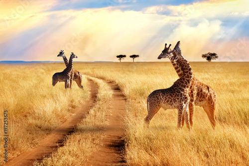 Grupa żyraf w pobliżu drogi w parku narodowym Serengeti. Zachód słońca w tle. Afrykańskie safari.