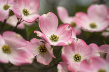 Pink Dogwood Branch In Bloom