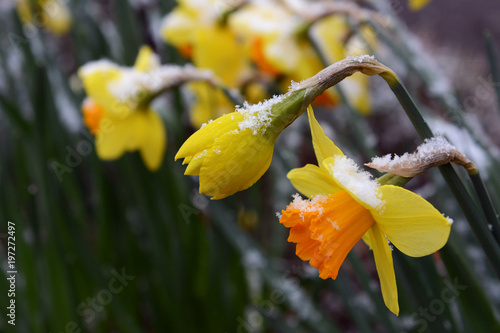 Spring daffodils with a sprinkling of late snow