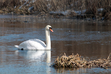 White mute swan (Cygnus olor) afloat in early spring