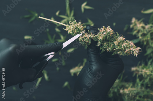 A man grower is Trimming fresh harvest cannabis buds Canvas Print