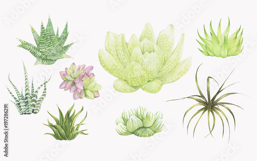 Canvastavla  Hand drawn haworthia plants isolated on white background