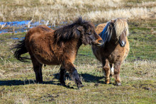 Two Miniature Horses Interacti...
