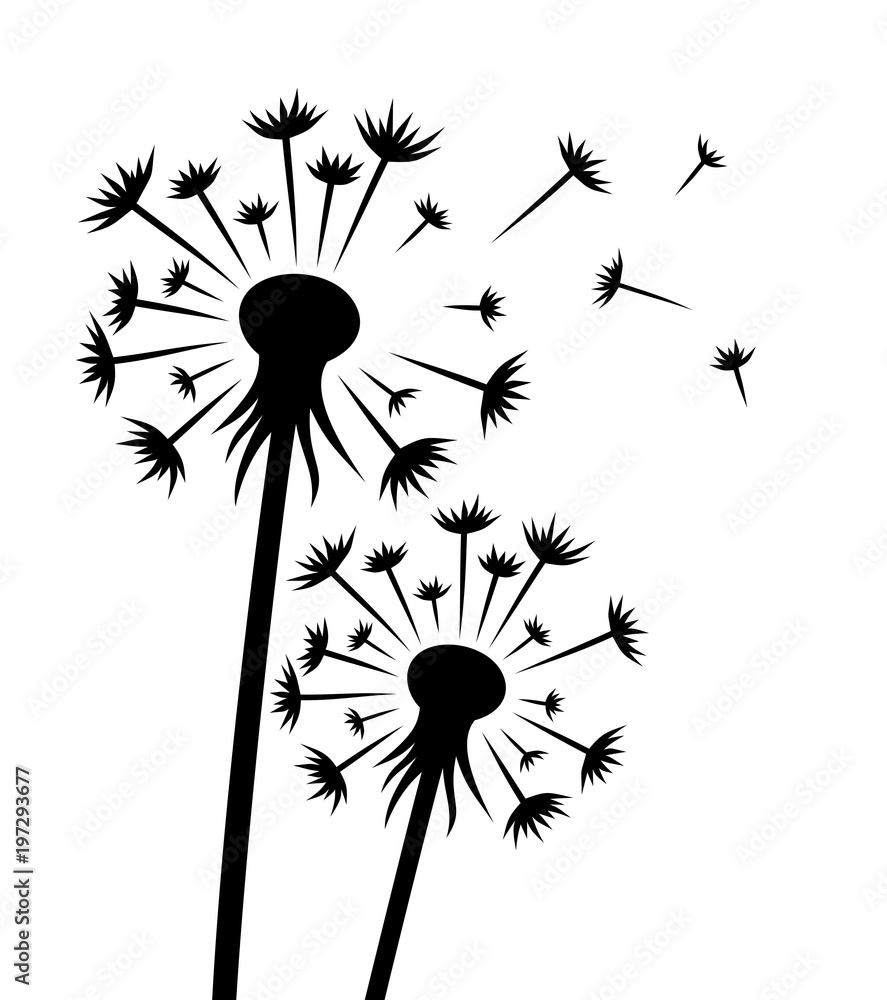 Fototapety, obrazy: A flower of a field dandelion with seeds.