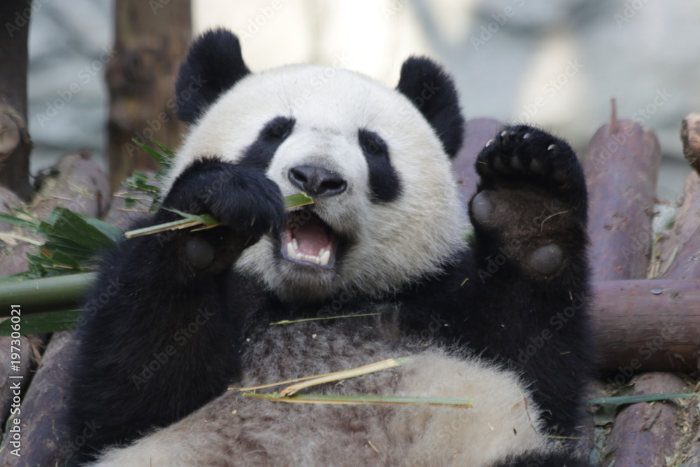 Giant Panda is Eating Bamboo Leaves, China