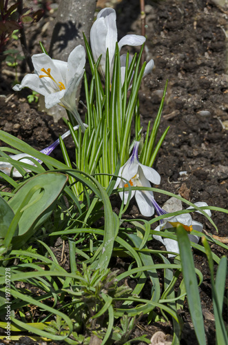 Fotografie, Obraz  Art beautiful spring white crocus flowers in the garden, Sofia, Bulgaria