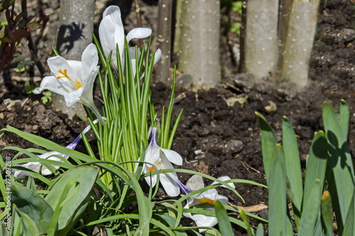 Fototapeta Art beautiful spring white crocus flowers in the garden, Sofia, Bulgaria