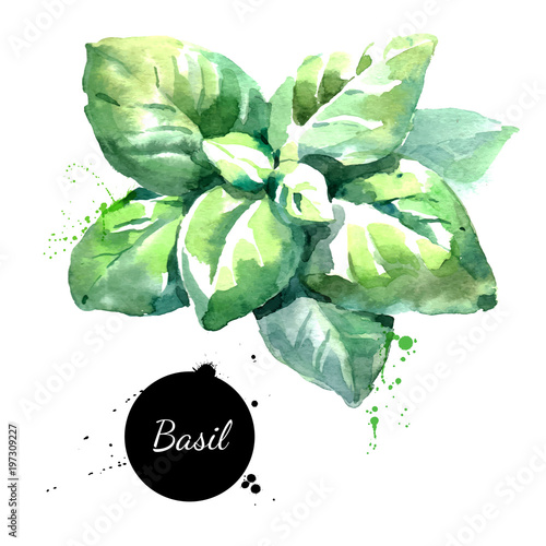 Watercolor basil leaves Isolated eco food  illustration on white background Fototapete