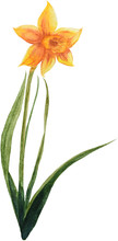 Watercolor Yellow Narcissus Ps...