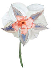 Watercolor Narcissus Replete Without Leaf On White Background