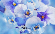 Photo Of A Beautiful Purple Pansy Flowers Close-up On A Blue Background. Beautiful And Delicate Flowers.