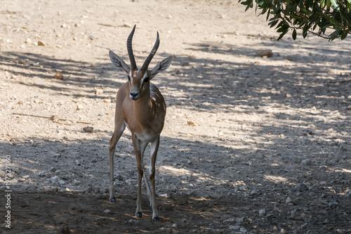 Deurstickers Antilope African Antelope in the natural habitat.