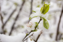 Tree With Flowers And Snow