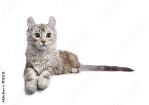 American Curl Cat White