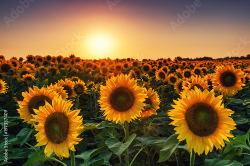 Sunflower field at the sunset