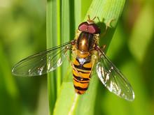 Marmalade Hoverfly (Episyrphus...