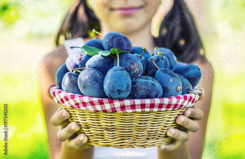 Plums. Young girl farmer holding basket with plums.