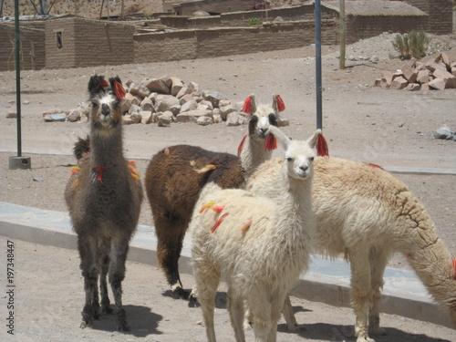 Poster Lama Llamas en San Antonio de los Cobres, Salta - Argentina