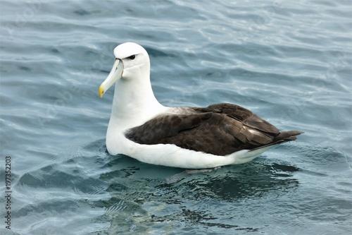 Obraz na plátně Albatros auf dem Meer