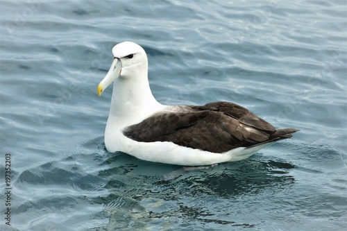 Fototapeta  Albatros auf dem Meer