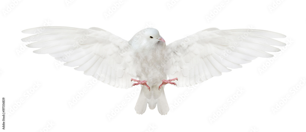isolated flying white dove bottom view