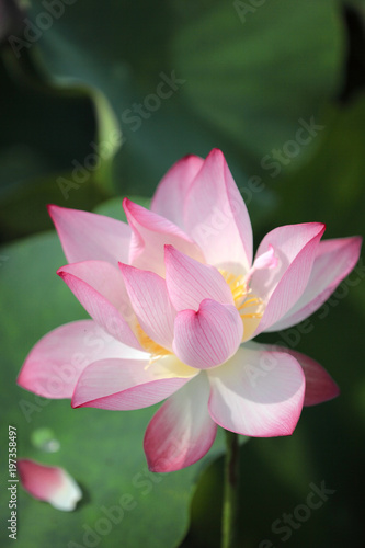 Staande foto Lotusbloem Close-up view of a lovely pale pink waterlily flower with delicate petals and yellow stamen blooming among green leaves in a lotus pond under bright sunshine ( blurred background effect )