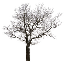 Isolated Bare Oak Tree In Light Snow