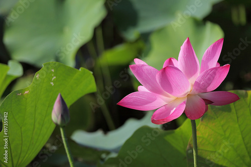 Foto op Canvas Lotusbloem Lovely pink water lily blooming among lush leaves in a lotus pond under bright summer sunshine ~ Close-up of a lotus bud and a waterlily flower in full bloom ( vivid version )