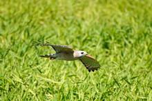 Red-Shouldered Hawk - Flight