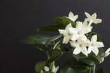 Jasmine flower plant with green leafs on black background