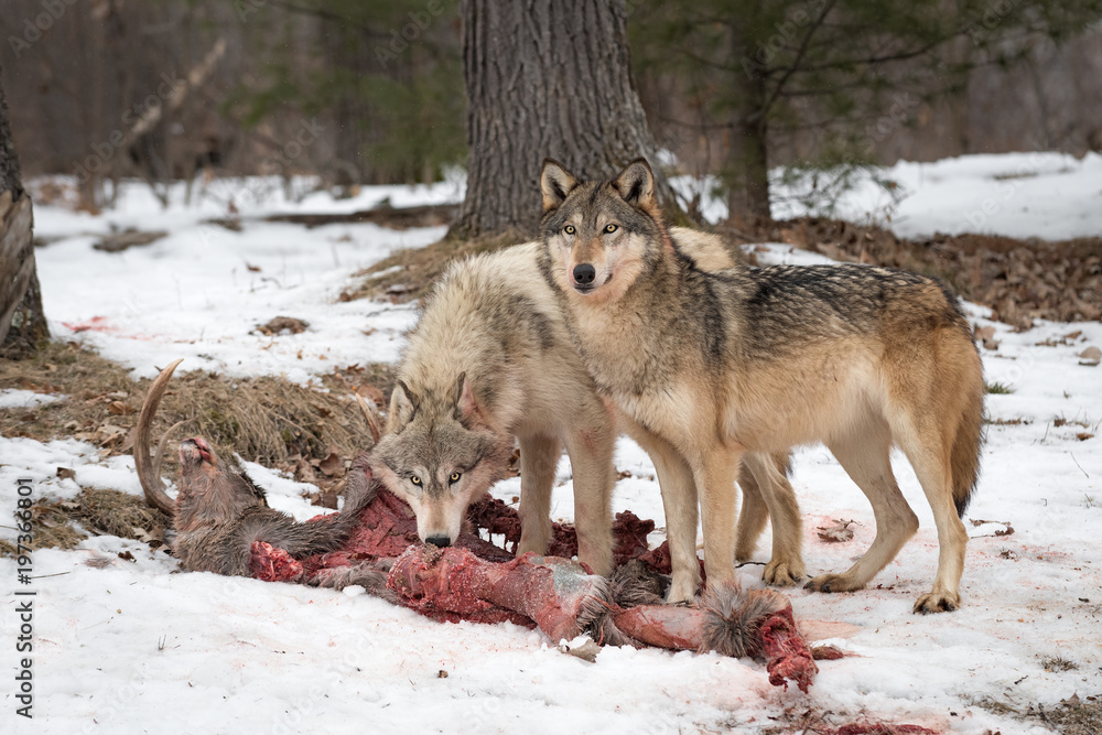 Grey Wolves (Canis lupus) Look Up From Deer Kill
