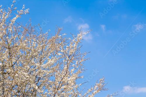 kwitnaca-wisnia-na-tle-blekitnego-nieba-galezie-drzewa-pokryte-kwiatami-wiosenne