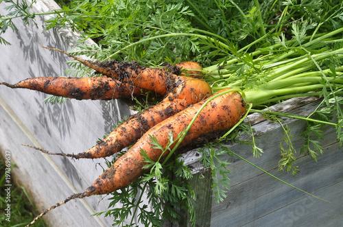 Karotten frisch geerntet auf Hochbeet