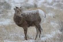 Bighorn Lamb In Grand Teton (Winter)