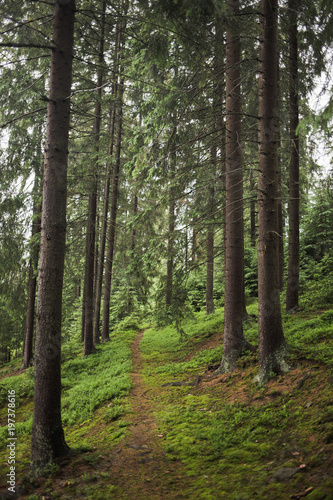 Keuken foto achterwand Weg in bos Pathway in old pine wood. Vertical color photography.