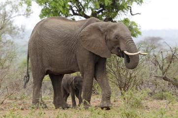 Eléphant d'Afrique, adulte et jeune, loxodonta africana, African elephant, Parc national Kruger, Afrique du Sud