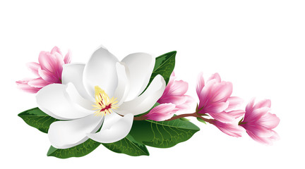 NaklejkaPink and white magnolia flowers. Realistic hand drawn vector brush illustration isolated on white background.