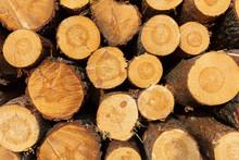 Baumschnitt Kiefern Holz Gesch...