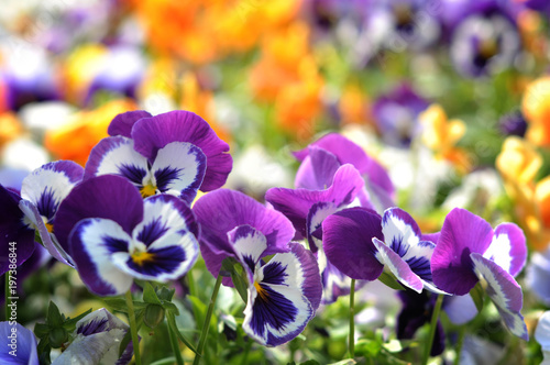 Spoed Foto op Canvas Pansies Violet Pansies beautiful flower in the flowerbed. On a sunny day after the rain.