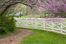 Eastern Redbud Tree And Fence