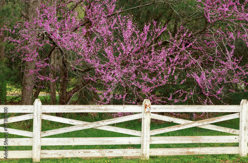 Fotografie, Obraz  Redbud Tree And Fence