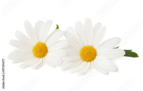 Foto op Plexiglas Magnolia Lovely Daisies (Marguerite) isolated, including clipping path without shade.