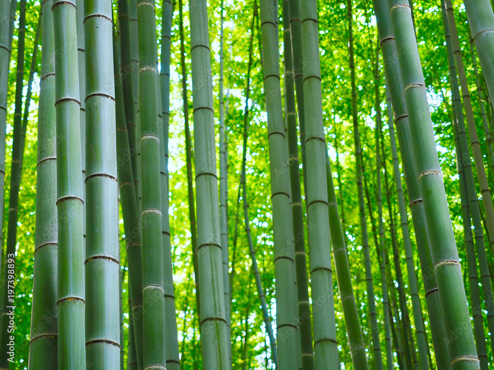 Bambus Wald Hintergrund 197398893 Bedroom Wallpaper